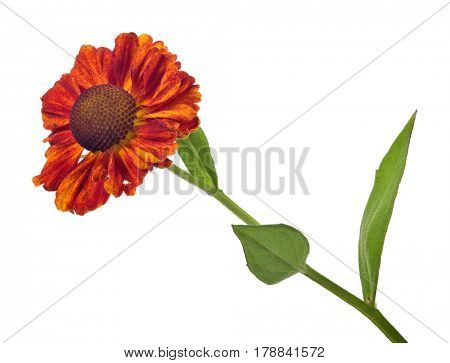 dark orange color flower isolated on white background