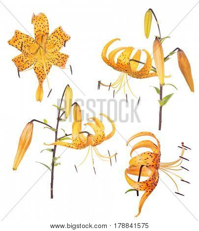 set of yellow lily flowers isolated on white background