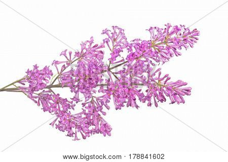 light lilac flowers isolated on white background