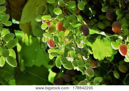 Bunch of grapes with grape wine leaves and spiderweb
