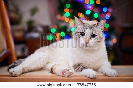White fluffy cat with blue eyes on the background of colored lights