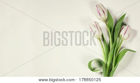 Pink spring tulips on white background