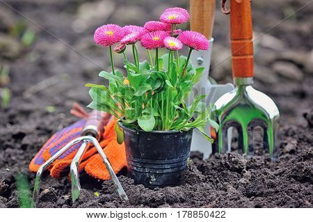 Beautiful marguerite flowers and garden tools. Close