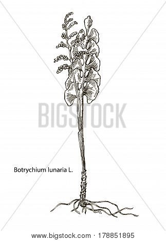 Vector images of medicinal plants. Detailed botanical illustration for your design. Biological additives are. Healthy lifestyle. Lunaria