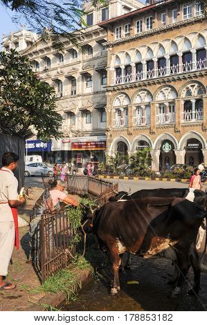 People Offering Food To Holy Cow At Mumbai, India