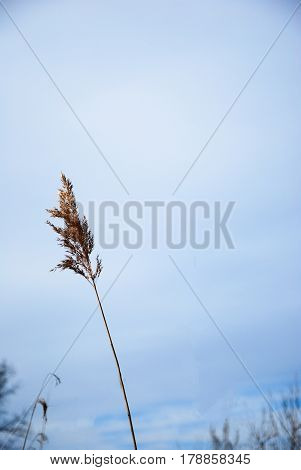 One dry fluffy reed flower by a blue sky