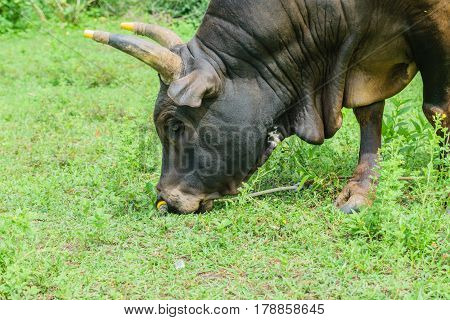 Cow14