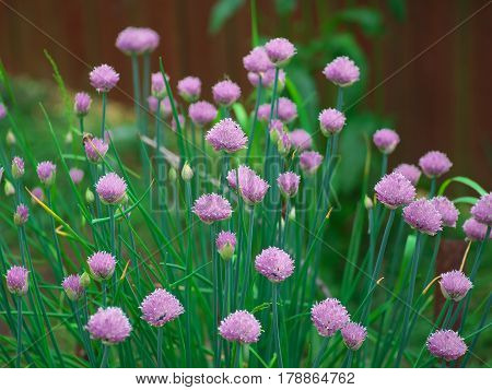 Chive onion flowers in a summer garden.