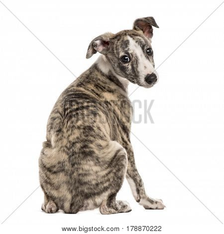 Rear view of a whippet looking backwards, 2,5 months, isolated on white
