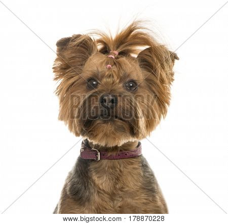 Close-up of a Yorkshire Terrier, 6 years old, isolated on white