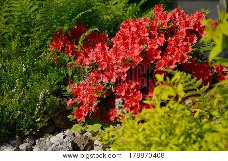 Blooming small shrub red Rhododendron winter heather ferns and Spiraea japonica in a spring garden.