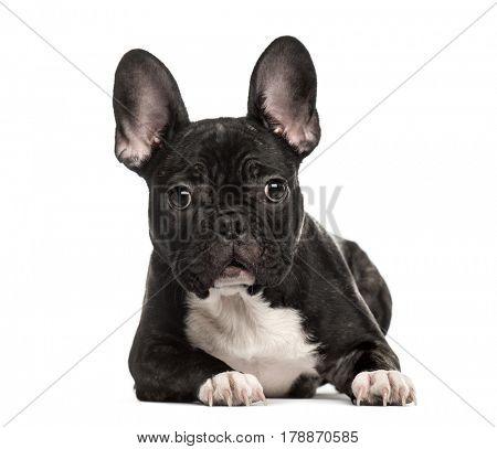 French Bulldog lying, isolated on white