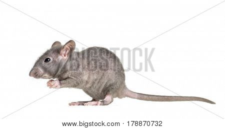 Young Hairless rat, isolated on white