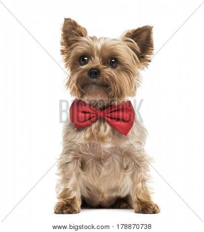 Yorkshire with a red bow tie sitting, isolated on white