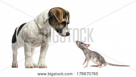 Jack Russell Terrier, 4 months old and young hairless rat, isolated on white
