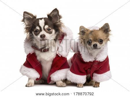 Two chihuahuas in Christmas jacket, isolated on white