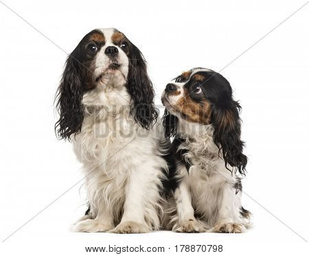 Two Cavalier king Charles sitting, isolated on white