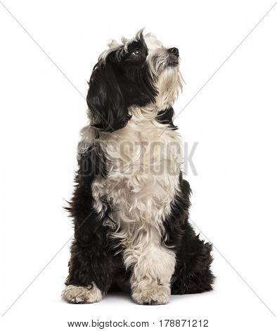 Tibetan Terrier sitting, isolated on white