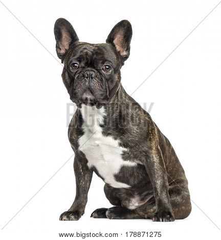French Bulldog sitting, 2 years old, isolated on white
