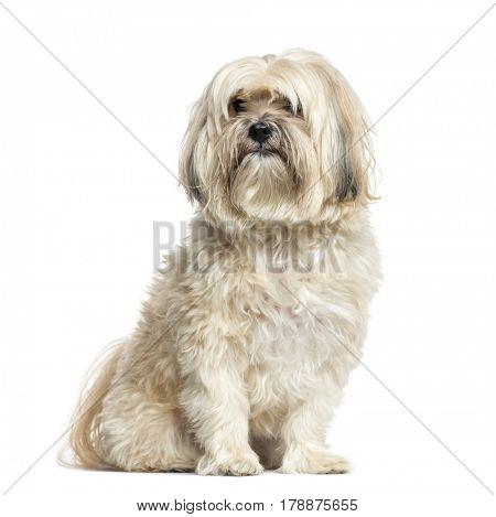 Shih-tzu sitting, 10 years old, isolated on white