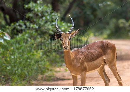 Closeup photo of impala ( Aepyceros melampus )
