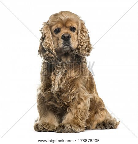 American cocker spaniel sitting, 6 years, isolated on white