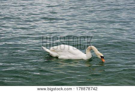 White Swan At Lake Constance (bodensee). Austria