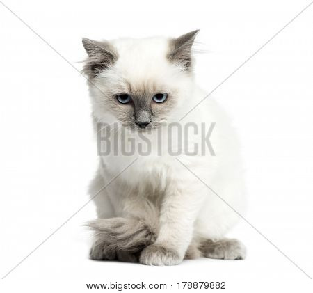Birman sitting, 3 months old, isolated on white