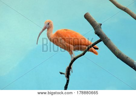 Hadada Ibis on top of a tree branch
