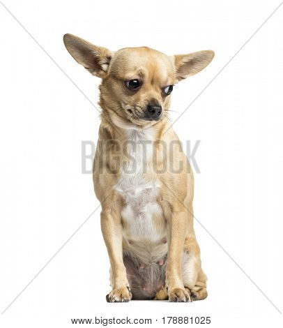 Brown Chihuahua sitting, 18 months old, isolated on white