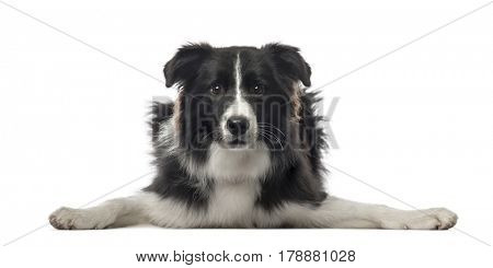 Border Collie lying looking at the camera and spreading paws, isolated on white