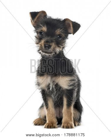 Mixed breed dog sitting, 3 months old , isolated on white
