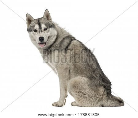 Side view of a Siberian Husky sitting, 1,5 year old , isolated on white