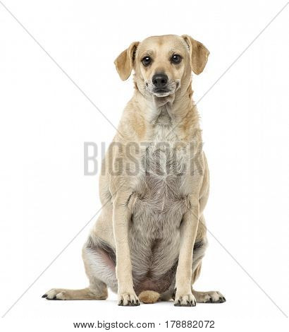 Mixed-breed sitting, 4 years old , isolated on white