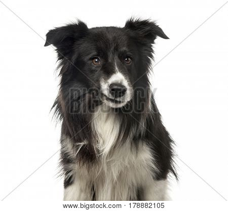 Close-up of a sardonic Border Collie , isolated on white