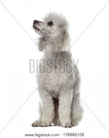 Poodle sitting, looking up, 19 months old , isolated on white