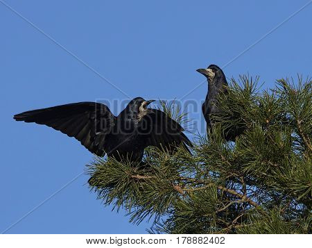 Rooks sitting in a tree with blue skies in the background