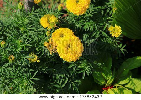 marigold yellow flower blooming beautiful in garden   (Tagetes erecta, Mexican marigold, Aztec marigold, African marigold)