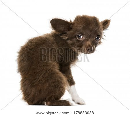Fearful puppy Chihuahua sitting, 4 months old , isolated on white