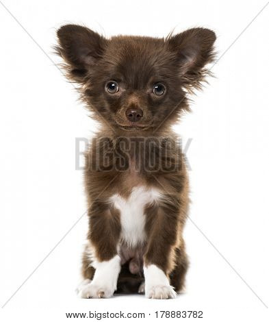 Puppy Chihuahua looking at the camera, isolated on white, 4 months old