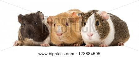 Three guinea pigs side by side , isolated on white
