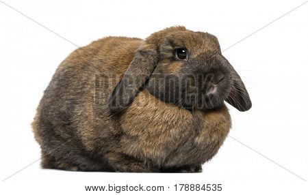 Brown Rabbit lying , isolated on white