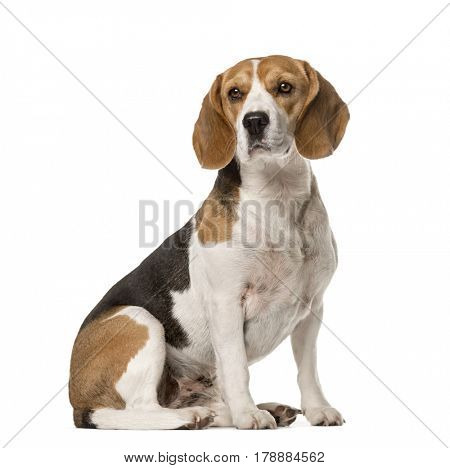 Beagle sitting , isolated on white