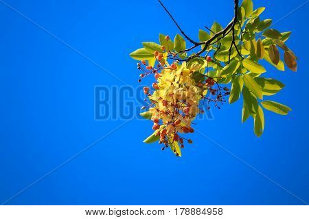 Golden shower flower yellow Cassia fistula on tree with blossom in blue sky background