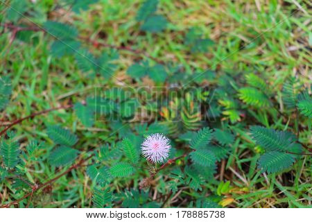 mimosa pudica flower of shy plant select focus with shallow depth of field.