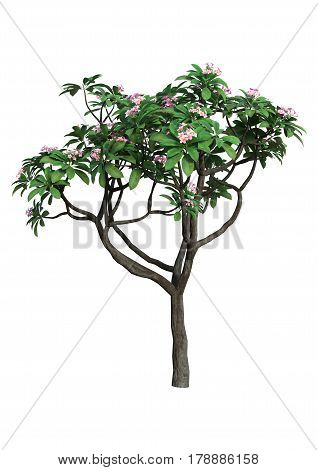 3D rendering of a plumeria tree isolated on white background