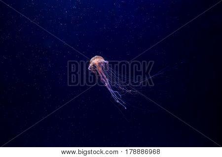 Jellyfish. Marine invertebrates  Scyphozoan class floats in seawater