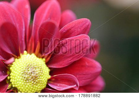 Zinnia flower closeup abstract blur background. Blooming flower closeup