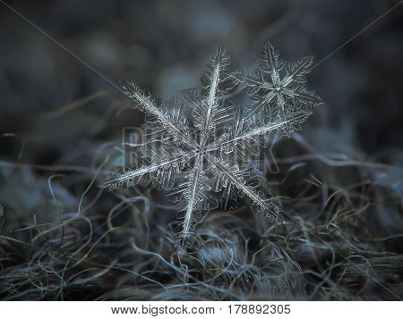 Macro photo of real snowflakes: flat cluster with two snow crystals of stellar dendrite type with elegant structure and long arms, containing lots of small icy
