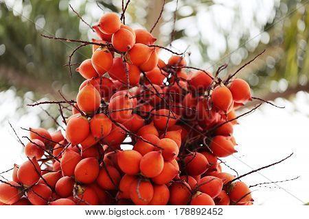 Ripe Areca Nut Palm Tree. Betel Nut Palm Tree. Red betel nut on palm tree